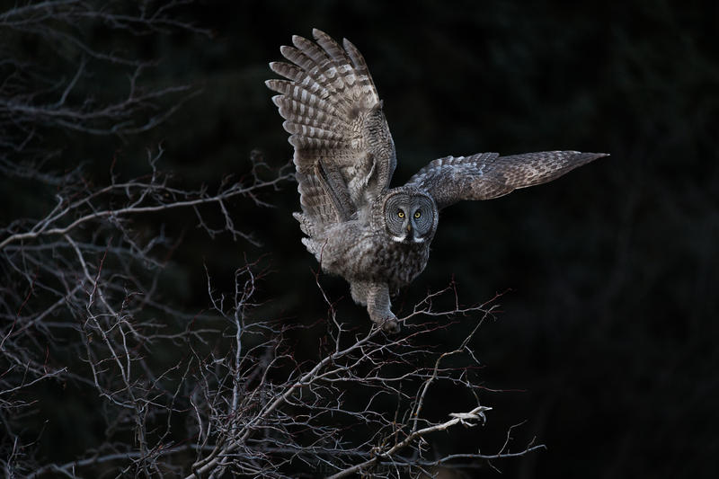Great gray owl.