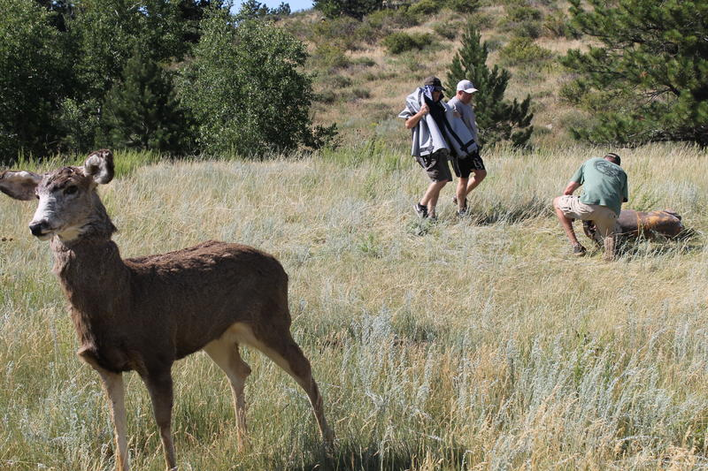 The team gets ready to blindfold a decoy mule deer.