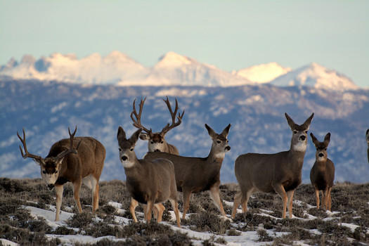 Mule deer photo captured by the Bureau of Land Management