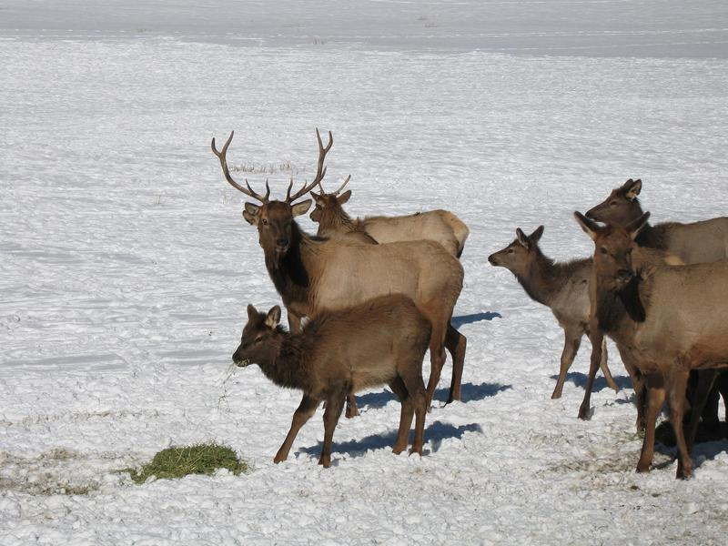 UW study suggests feeding elk during the winter could quicken the spread of CWD and hurt the state's economy.