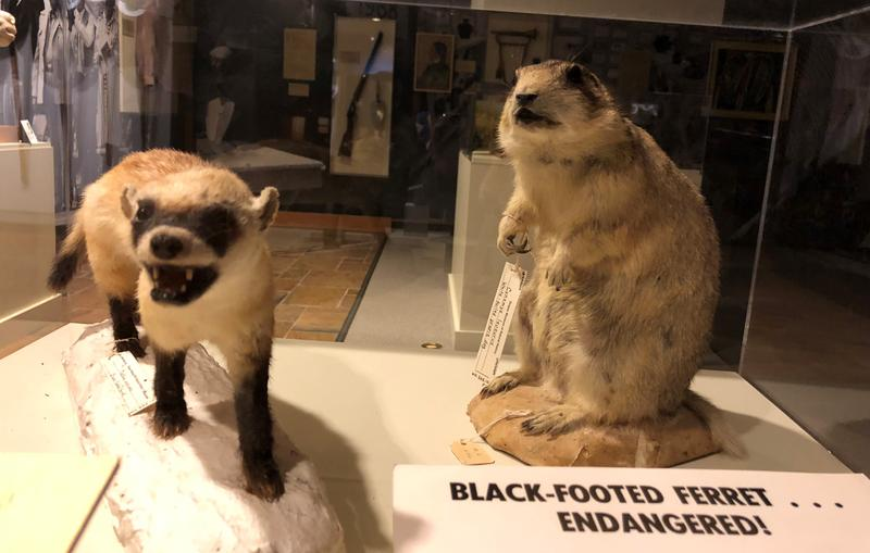 Black footed ferrets displayed at the Draper Natural History Museum.