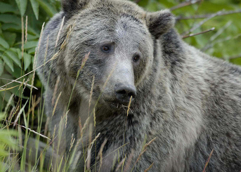 Grizzly Bear in Yellowstone.