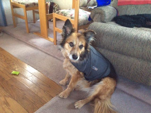 Quincy wearing the thunder vest we bought for her to deal with her separation anxiety. But then we discovered we could leave Wyoming Public Radio on when we left for the day, and she was fine!
