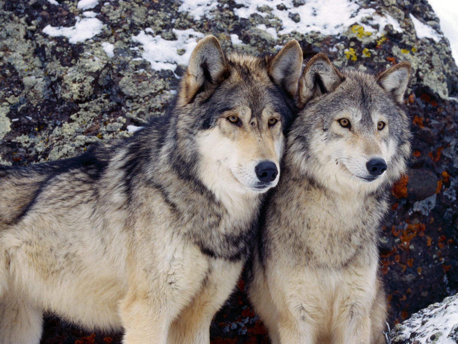 Interpretations Of Wolves In Literature And Various Literary
