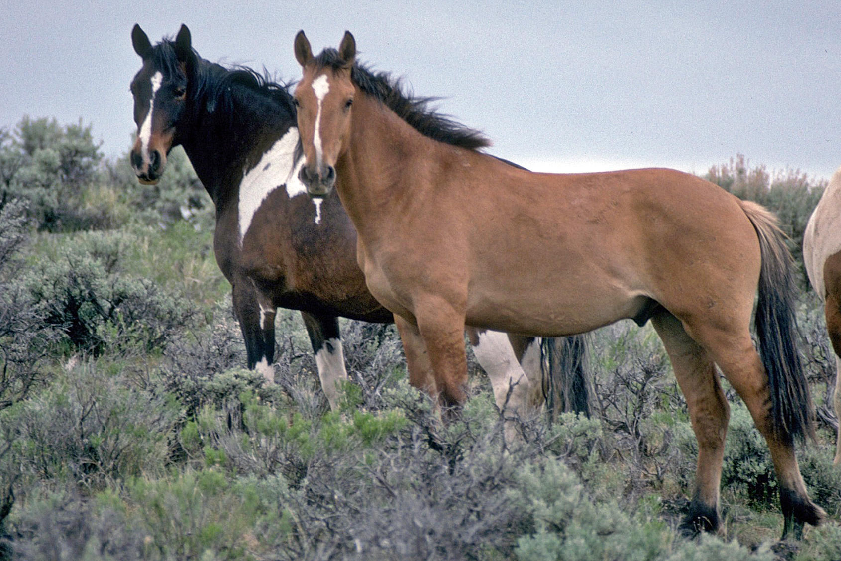 Wild Horses Migrate, But Where Do They Go? | Wyoming Public Media