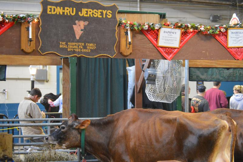 Cattle from EDN-RU Jerseys from Boalsburg, Pa.