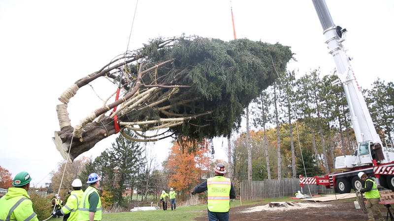 Rockefeller Center Christmas Tree Leaves Its Roots In