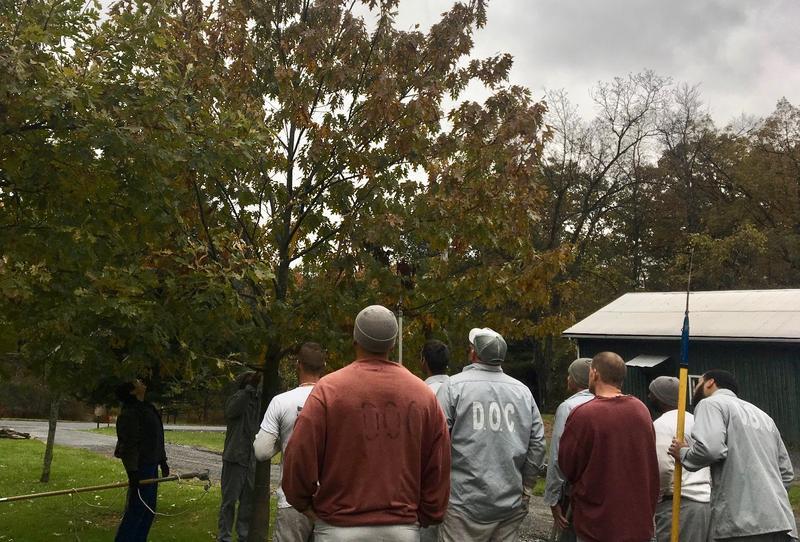 Prison inmates pruning oak tree