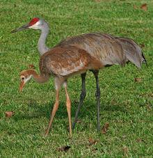 Adult sandhill crane and chick