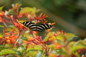 Zebra Longwing, Florida's state butterfly