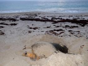 Loggerhead sea turtle laying eggs at sunrise
