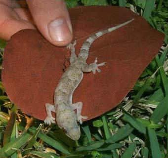Tropical gecko lizard