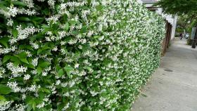 A hedge of flowering honeysuckle. 