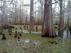 Cypress trees in the Atchafalaya Basin. (Tegan Wendland/WRKF)
