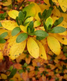Yellow azalea leaves.