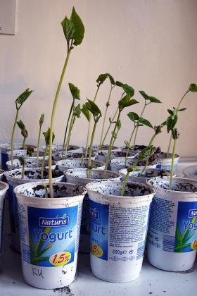 Runner beans started indoors.