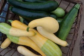 Summer squash, fresh from the garden.