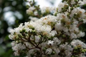 White crape myrtle in bloom.