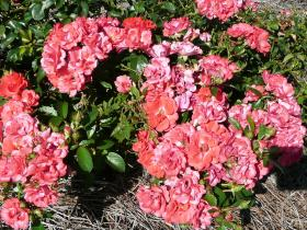 Drift Coral rose flowers.