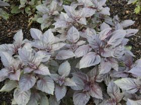 A late summer planting of basil will keep you supplied until the first frost. Select basils for their specific flavor. Basil 'Red Rubin' is a colored selection with a pleasing taste.