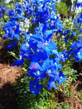 Diamonds Blue delphinium blossoms