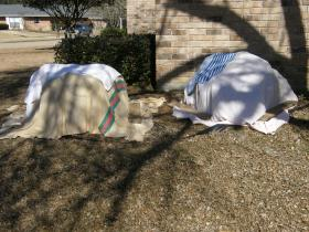 Tender shrubs covered with blankets. Covers weighted to the ground keep heat released from the soil from escaping on cold nights.