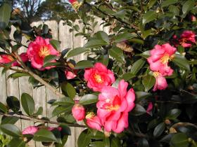 Camellia hiemalis 'Shi Shi Gashira', often called a C. sasanqua, provides wonderful fall color in semi-shady to full sun landscapes.