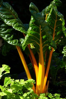 Swiss chard with yellow stalks.
