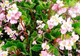 Baby Wing Pink begonia.