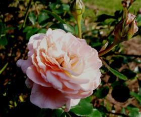 Apricot Drift rose.
