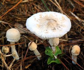 Mushrooms often pop up in lawns following heavy rainfall.