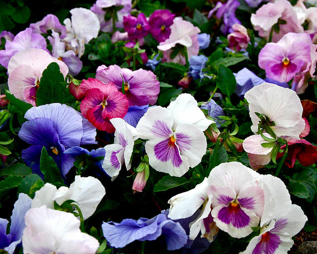 Pansies blooming in Shreveport, La.