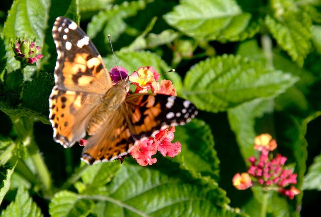 A Lantana Bandana Cherry Sunrise attracts a butterfly.
