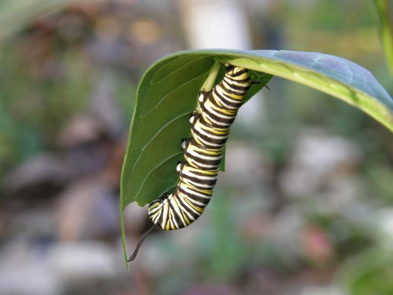 Brightly banded Monarch caterpillars voraciously feed on their favorite host plant, Asclepias tuberose or Butterfly Weed.