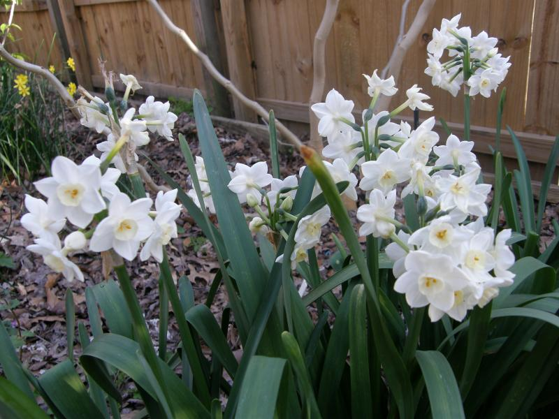 Narcissus 'Grand Primo' has deep green foliage and pure white flowers and reliably blooms year after year.