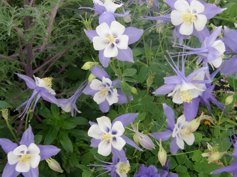 "Columbine ""Swan Blue white"" – Bicolored columbines grace landscapes in April with their stately flower stalks arising above the plant foliage."