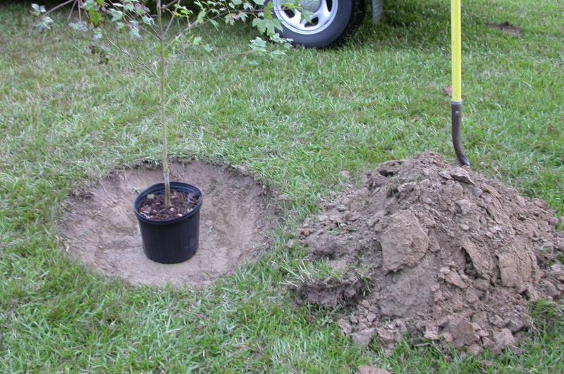 A 3-foot wide hole with sloped sides and only as deep as the root ball is ready for planting this 3-gallon Florida Sugar Maple at Burden Center.