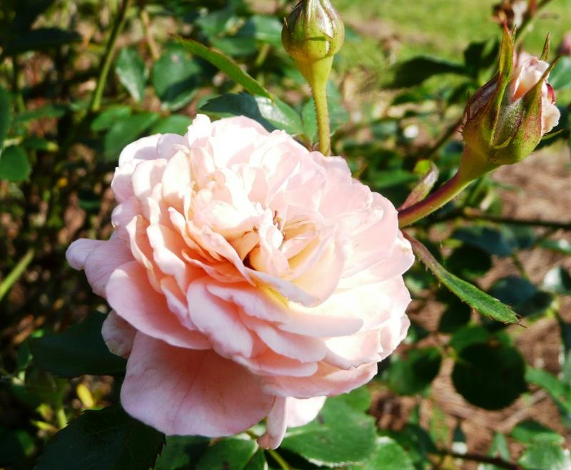 Drift Apricot rose blossom