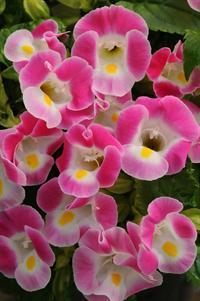 Kauai Rose torenia