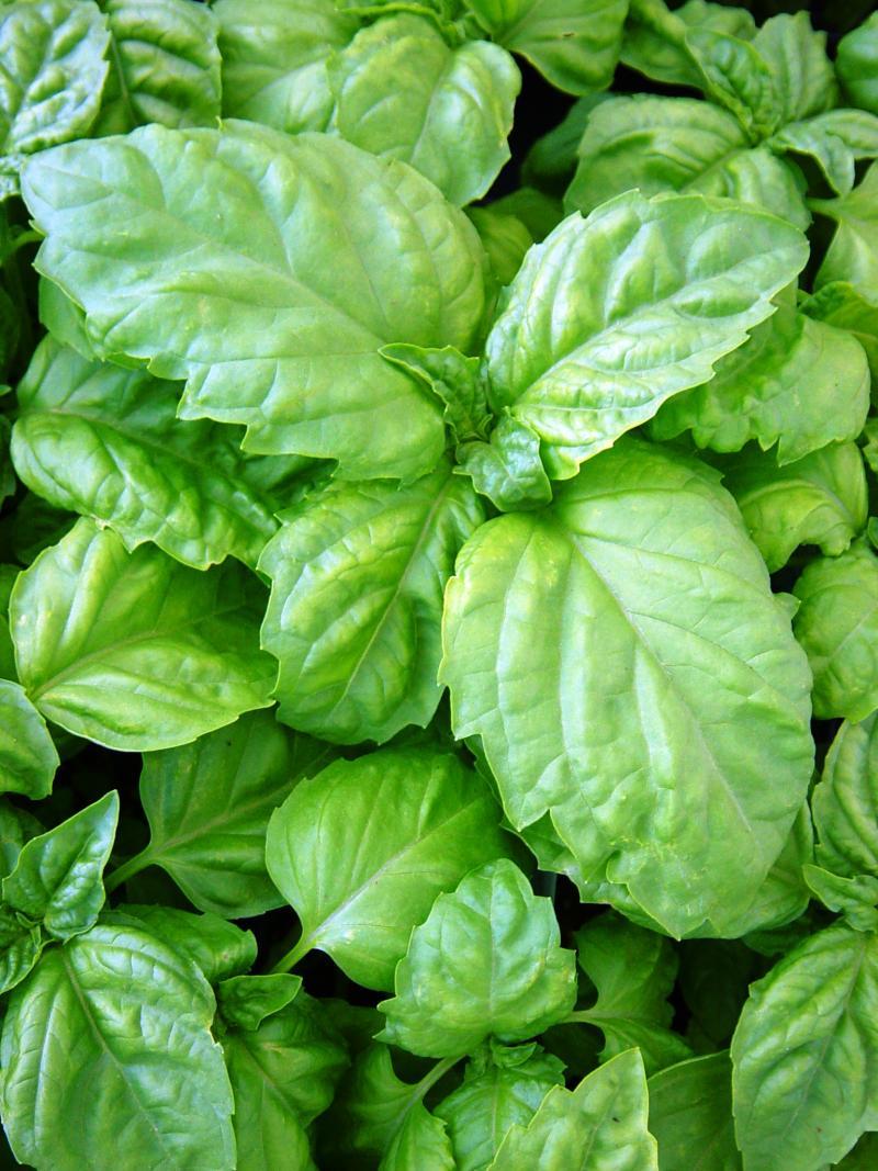 Lettuce leaf basil.