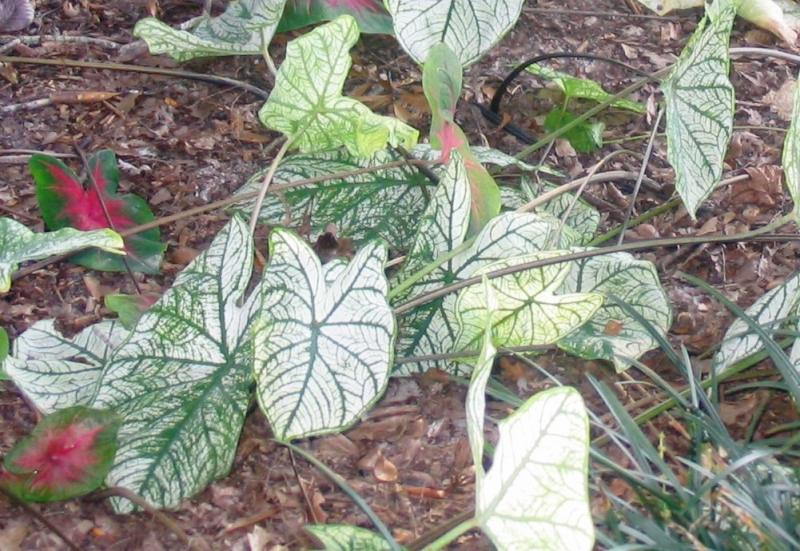 It's time to dig caladiums when the foliage turns brown and papery.