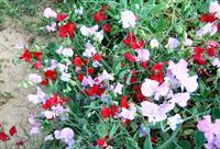 Sweet peas are among the most fragrant of the cool-season flowers.