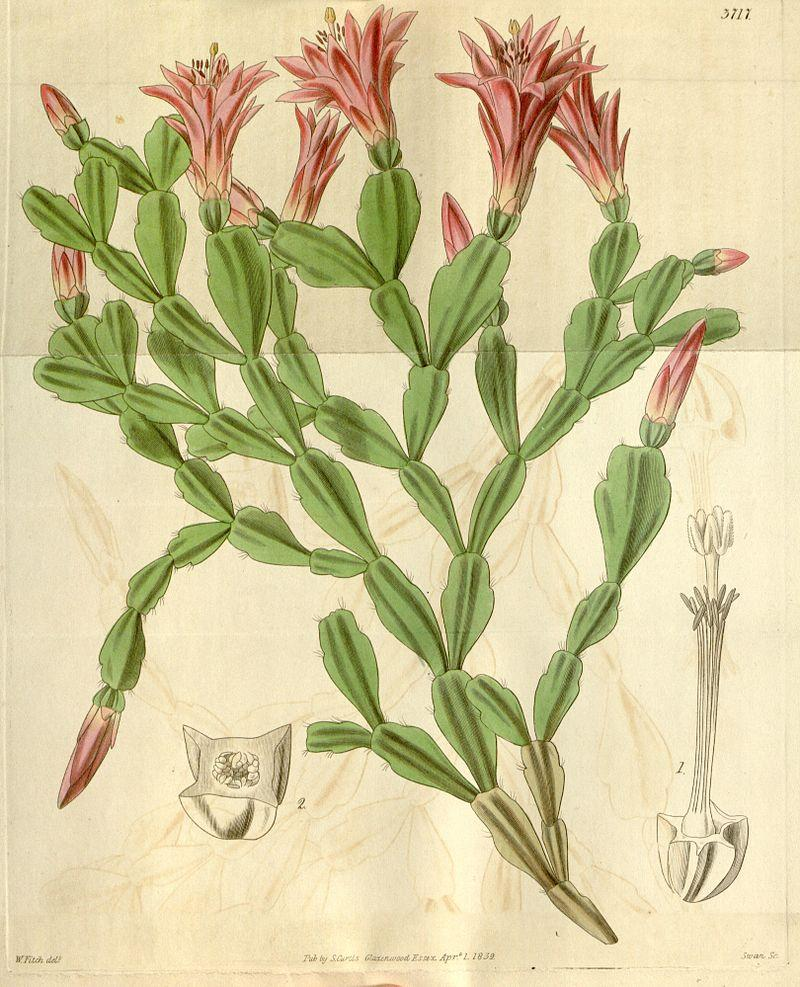 Drawing of S. russelliana, the type species, from the Botanical Magazine, 1839