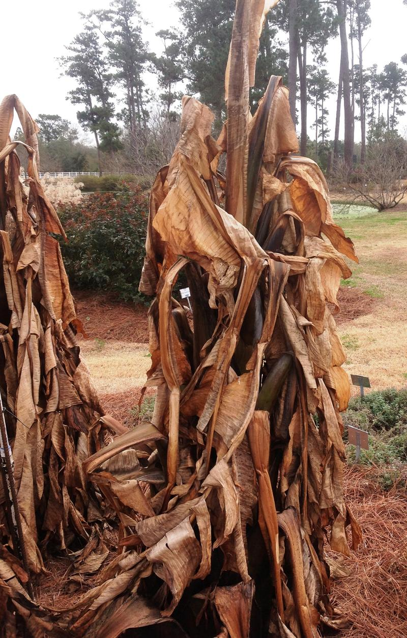 Banana plants exhibit cold damage in the trial gardens at the LSU AgCenter Hammond Research Station.