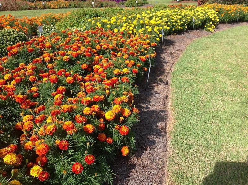 A garden match up marigolds v nematodes wrkf for Garden design podcast
