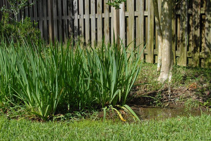Iris in a rain garden.
