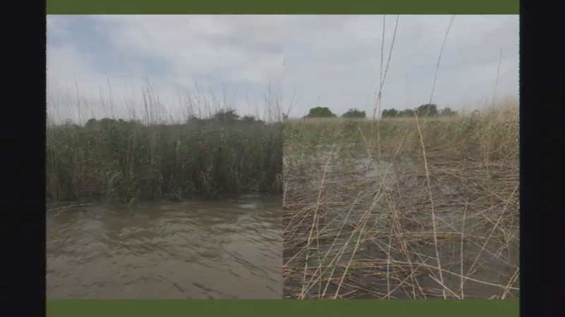 Roseau cane before and after scale infestation