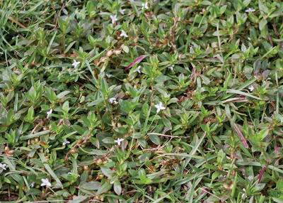 Virginia buttonweed is a summer problem wrkf virginia buttonweed is a summer problem mightylinksfo