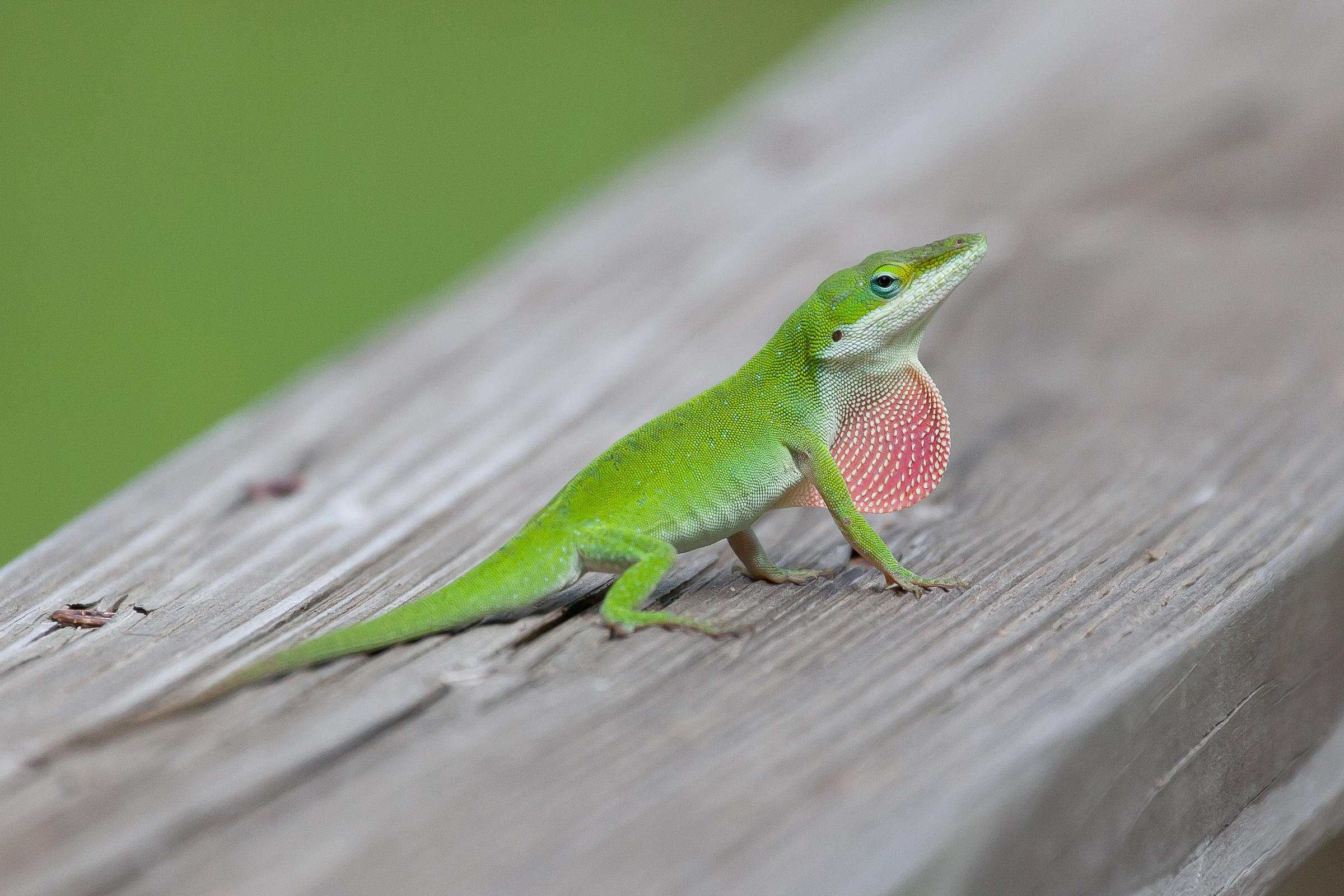 green anole anolis carolinensis land of the lizards