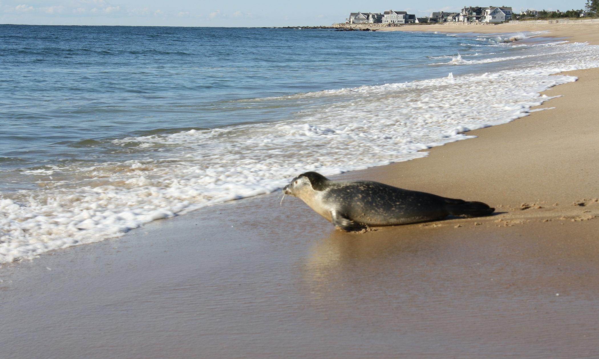 ... Seal Swims Free Off The Rhode Island Coast Rhode Island Public Radio